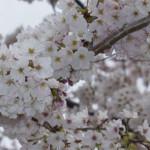 Exposição: Sakura Banzai
